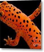 Red Salamander Metal Print