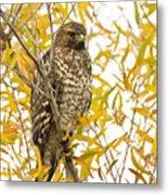 Red-shouldered Hawk Metal Print