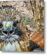 Red-tailed Hawk -5 Metal Print