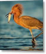 Reddish Egret With Fish Metal Print