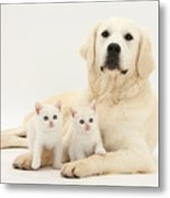 Retriever With Friendly Kittens Metal Print