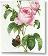 Rosa Centifolia Metal Print by Pierre Joseph Redoute