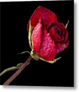 Rose Still Life  Metal Print by Robert Ullmann
