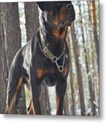 Rottweiler Kuchum Metal Print
