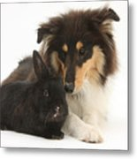 Rough Collie With Black Rabbit Metal Print