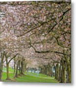 Rows Of Cherry Blossom Trees In Spring Metal Print