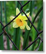 1 Sad Daffy Behind Bars Metal Print