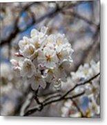 Sakura Spring Metal Print