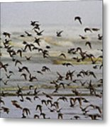Sand Pipers In Flight Metal Print