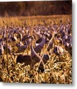 Sandhills In The Corn Metal Print