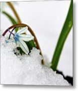 Scilla On Snow Metal Print