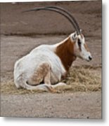 Scimitar Horned Dammah Metal Print