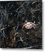 Scuttling To Safety Metal Print