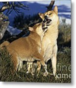 Shiba Inu And Her Puppy Metal Print