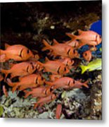 Shoulderbar Soldierfish Metal Print