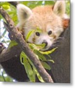 Shy Red Panda Metal Print