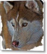 Siberian Husky Metal Print by Larry Linton