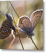 Silver-studded Blue Butterflies Metal Print