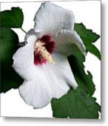 Single Rose Sharron Flower Metal Print