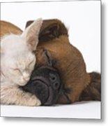 Small Brabant Griffon, Petit Brabancon, Puppy Dog With Laperm Kitten Metal Print