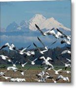 Snow Geese In Skagit Valley Metal Print
