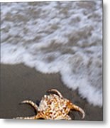 Spider Conch Shell Metal Print