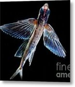 Spotfin Flyingfish Metal Print