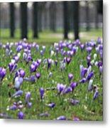 Spring Flowering Crocuses Metal Print