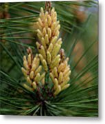 Spring Pine Tree Metal Print