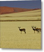 Springbok At Sossusvlei Metal Print