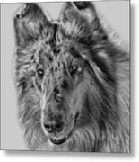 Standard Collie Metal Print