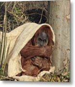 Sumatran Orangutang - Metal Print