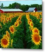 Sunflower Field #4 Metal Print