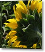 Sunflower Series 09 Metal Print