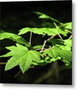 Sunny Summer Maple Metal Print