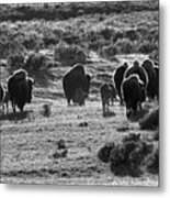 Sunset Bison Stroll Black And White Metal Print