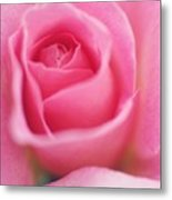 Sweet Rosiness Metal Print