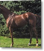 Thoroughbred Stallion Metal Print