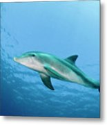 three year old Dolphin  Metal Print
