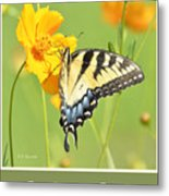 Tiger Swallowtail Butterfly On Cosmos Flower Metal Print