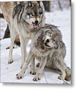 Timber Wolves In Winter Metal Print