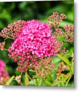 Tiny Pink Spirea Flowers Metal Print
