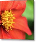 Tithonia Rotundifolia, Red Flower Metal Print