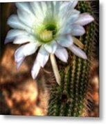 Torch Cactus - Echinopsis Candicans Metal Print