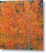 Translucent Aspen Orange Metal Print