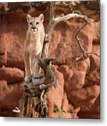 Treed Mountain Lion Metal Print