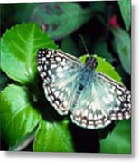 Tropical Checkered Skipper Metal Print by Thomas R Fletcher