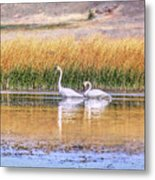 Tranquil Trumpeter Swans Metal Print
