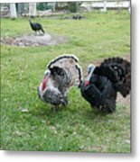 Turkeys In The Yard At Laguna Guerrero Metal Print