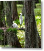 Two Baby Great Egrets And Nest Metal Print